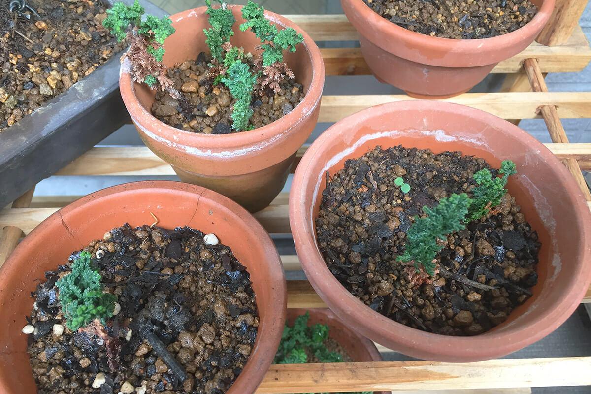石化檜 養成鉢で挿し穂