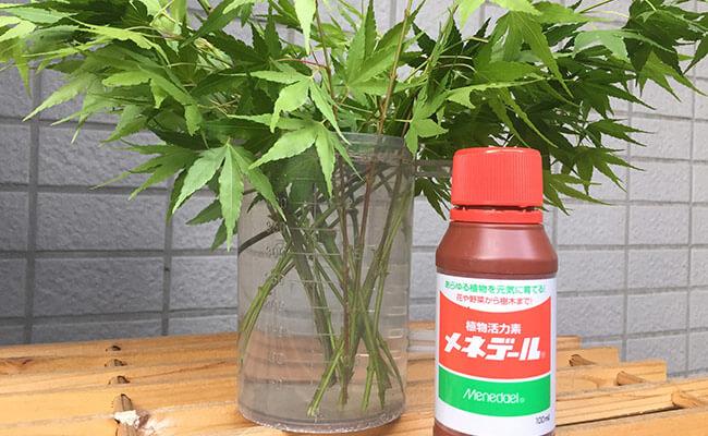 緑枝挿しモミジ メネデールを混ぜた水に挿す