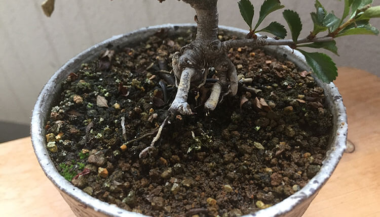 長寿梅盆栽 表土が施肥過多でタール状に