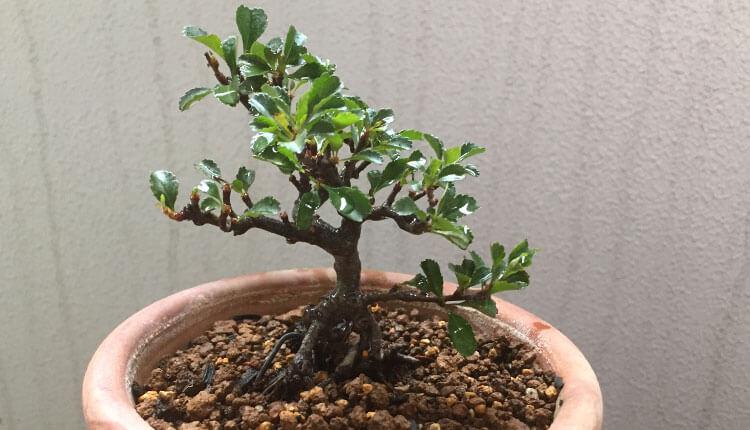 長寿梅盆栽植え替え後