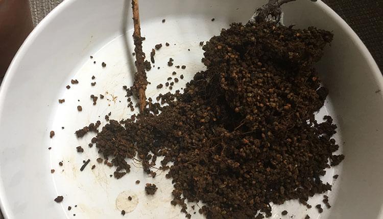 長寿梅盆栽植え替え 根の状態