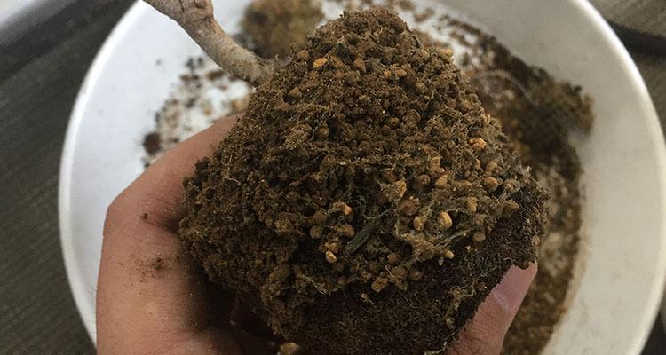 赤松盆栽菌根菌