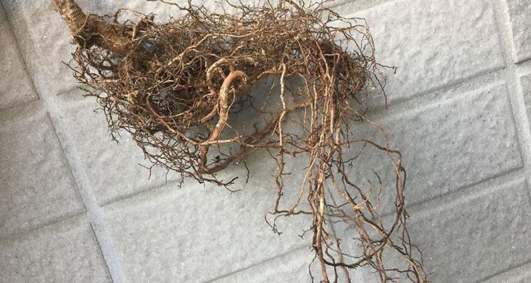赤松盆栽植え替え