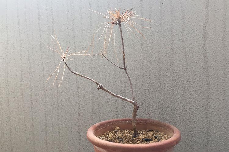 赤松盆栽枯れ姿