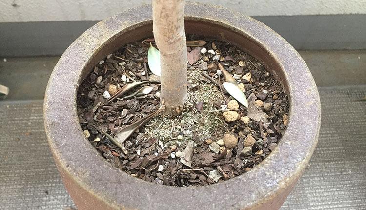 オリーブ鉢の土がかちかち