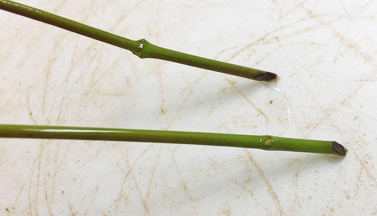 水挿しした緑枝モミジだが、変化なし