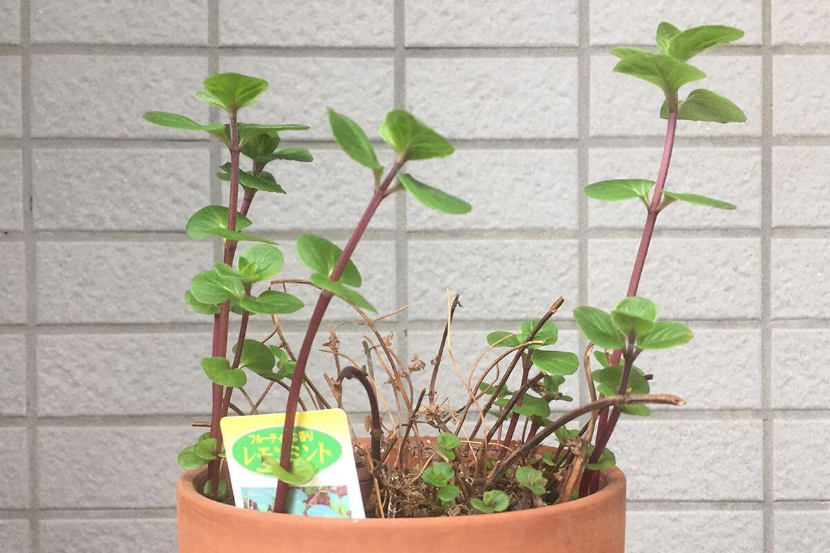 レモンミント 鉢植え 春