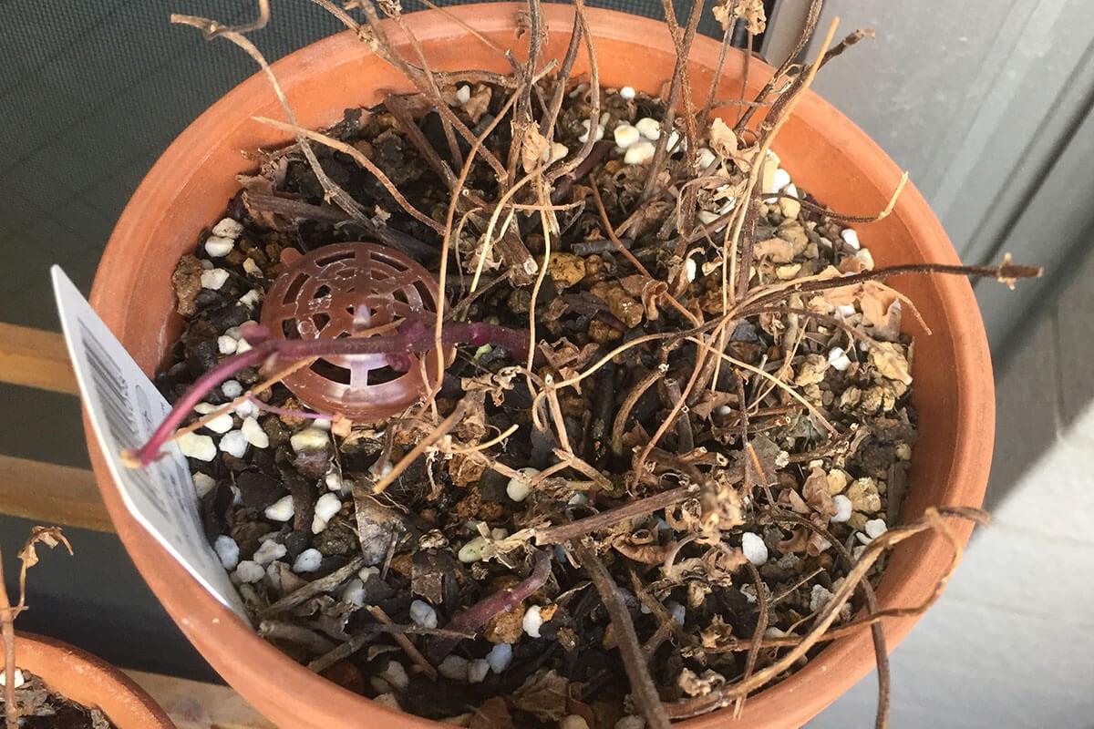 レモンミント 鉢植え 冬姿